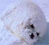 blob o seal