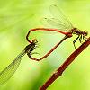 Saku: dragonfly