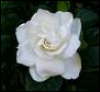 gardenia_girl userpic