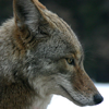 Axel: Coyote: Thinking