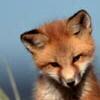 foxbite userpic