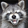 Curious Coon: Angry Raccoon