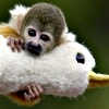 Squirrel monkey with duck!