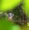 JV: owl