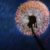Fantasia dandelion