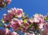 magnolier