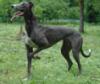 grey_hound_me