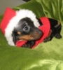 Christmas Doxi