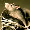 shoe rat