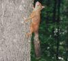 Белка_дерево