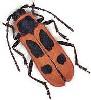 cerambycidae userpic