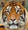 tigersgrace