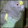 wicketbird