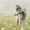 indigo_wolf13 userpic