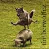 Timberwolf: whee!