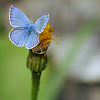 blue butterfly by caladenia