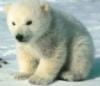 Polar, bear, cub