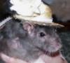 Arthur and Kevin's Nellorat: ratsie_sophie_hat