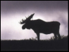 Stoic Moose