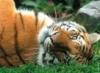 BlueEyedTigress (a.k.a. Blade): languid tiger