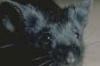 mouse_black