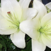 flower - lily