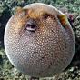 hay guys! pufferfish
