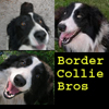 BorderCollie Bros
