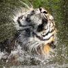 tiger shaking head