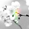 Blossom 01