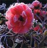 roseincognitus userpic