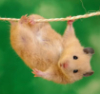 clinging rodent