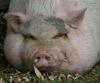 Свобода - это чистая совесть: Свиня