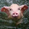 pigswim