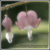Flowers: Bleeding Hearts