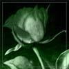 Hi, it's me: green rose
