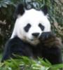 частное лицо: panda eats