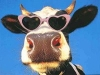 cow_glasses