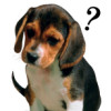 beagle oro
