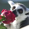 lemurling
