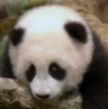Panda-Kopanda