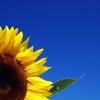 ladysunflower userpic