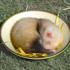 broodingferret userpic