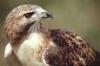 Curious Hawk