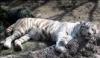 unique_tigris userpic