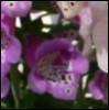 n_foxglove userpic