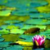 lotusgreen