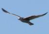 Хорватская чайка