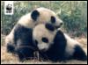 diane: pandas hugging WWF