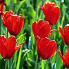 Lisa: happy: tulips
